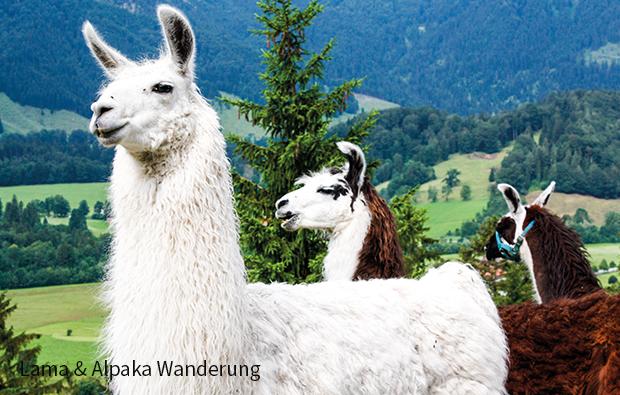 Lama-und-Alpaka-Wanderung