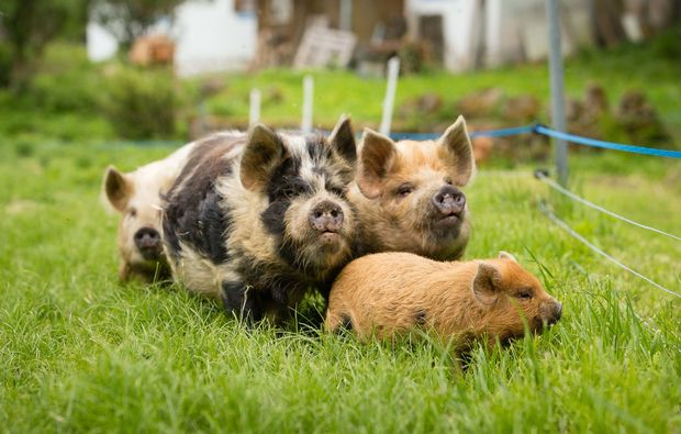 romantikwochenende-bad-grosspertholz-schweine