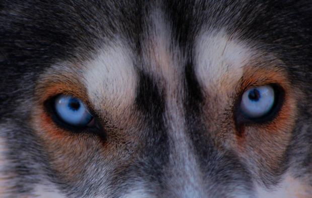 husky-abenteuer-trip-asele-blaue-augen