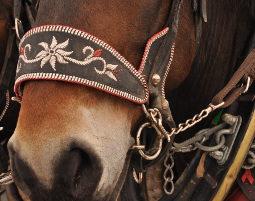 pferdekutschenfahrt-pferd