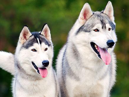 husky-schlittenhunde-trekking