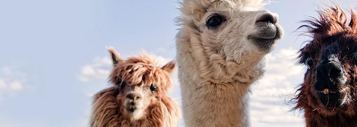 Randonnée avec les lamas