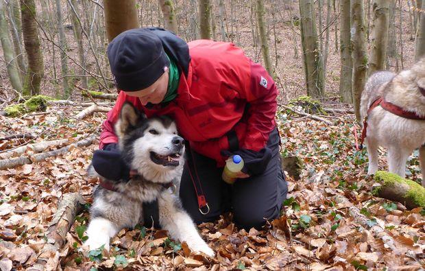 husky-trekking-siersburg-schlittenhund