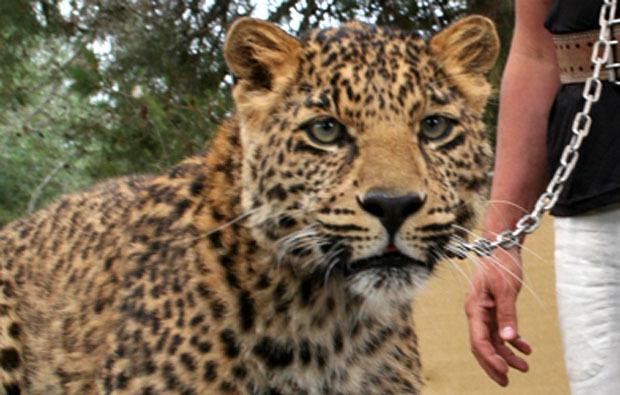 leoparden-tiere-fuettern