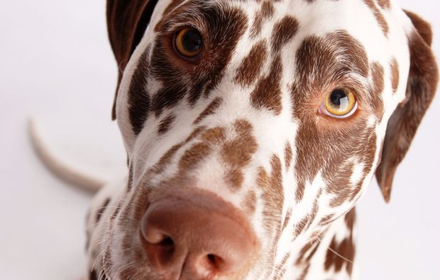 animalisches-fotoshooting-berlin-dalmatiner