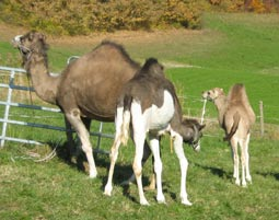 5-kamelreiten