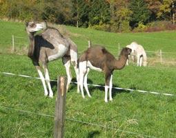 6-jungtiere-kamelritt