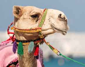 kamel-reiten-bigpic
