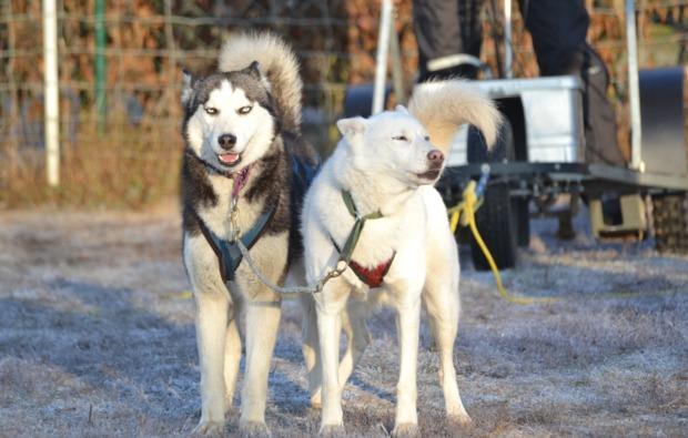 schlittenhunde-workshop-frankendorf-hundeschlittenkurs