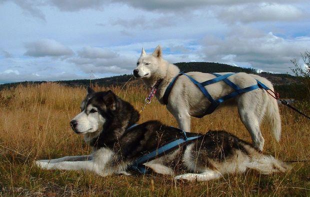 schlittenhunde-workshop-halbtageskurs-frankendorf
