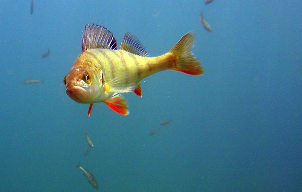 tauchschnupperkurs-worms-fisch-entdecken