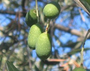 Bild Ölverkostung - Schmecke den Hauch von Urlaub bei einer Olivenöl-Verkostung