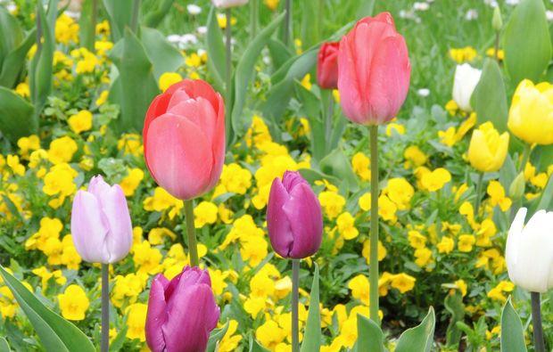 fototour-herrsching-tulpe