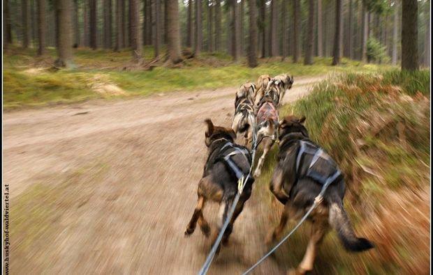 schlittenhundefahrt-alt-nagelberg-wagen