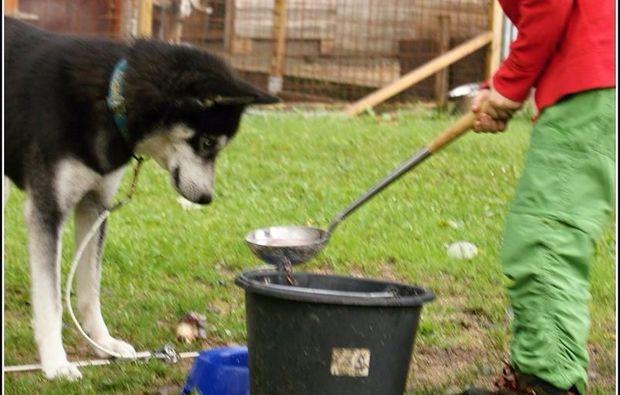 schlittenhundefahrten-kennenlerntour-husky