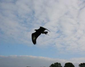 steinadler-beizjagd-rathenow3