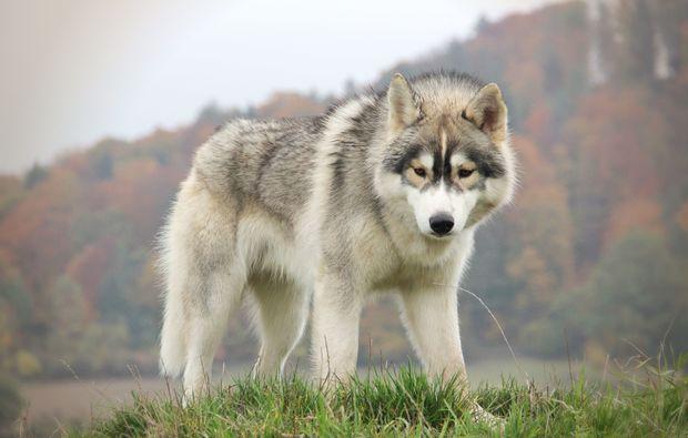 husky-trekking-dietfurt-rassehund