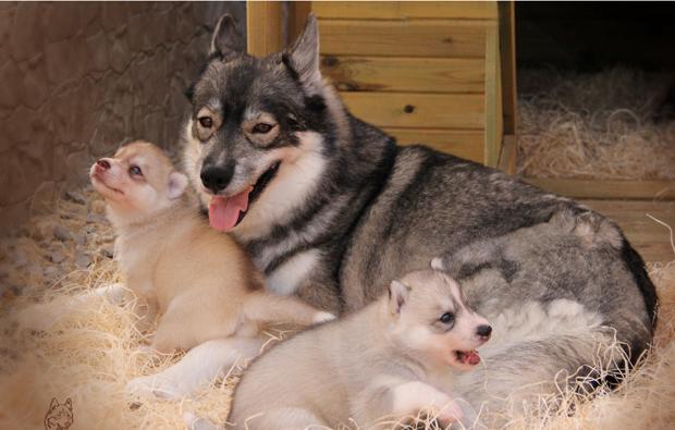 husky-welpen-erlebnis