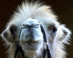3-kamel-trampeltier