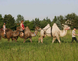 4-kamele-karawane-reiten
