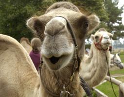 5-kamele-trampeltiere