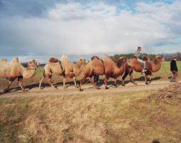 8-kamele-berlin