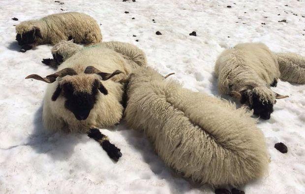 mammut-wandertouren-zermatt-bergschaf
