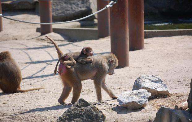 traumreise-safaripark-beekse-bergen-affen