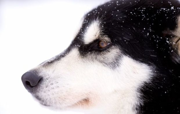 schlittenhunde-workshop-neuhof-hauswurz-husky