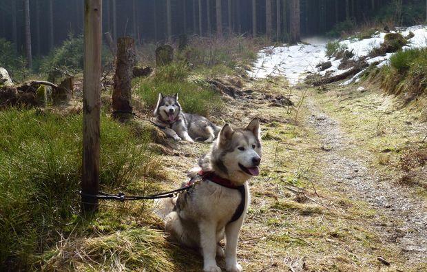husky-abenteuer-trip-wald-clausthal-zellerfeld