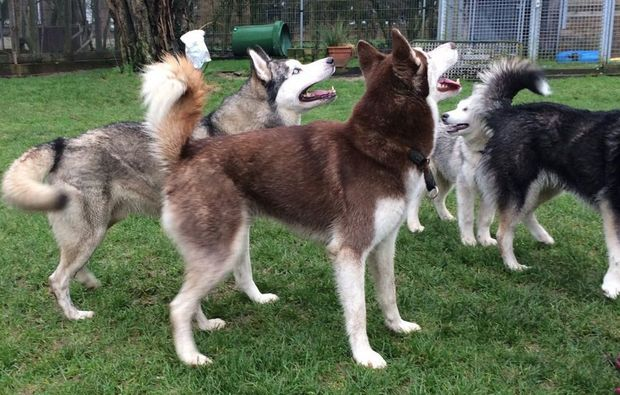 schlittenhunde-workshop-goch-huskies
