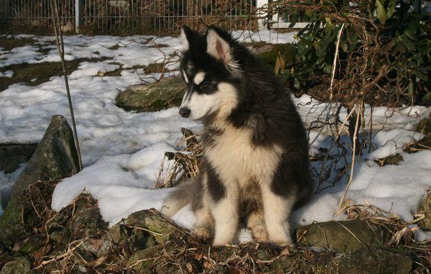 husky-baby-abenteuer-trip-kollnburg