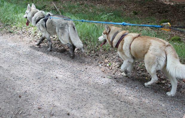 husky-trekking-kulz-spazieren