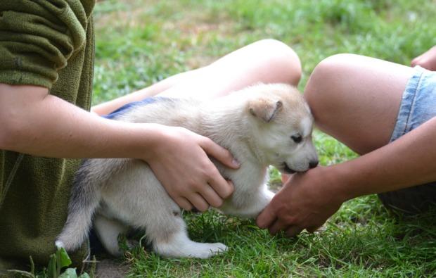 schlittenhunde-workshop-frankendorf-husky-baby