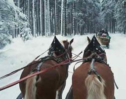 pferdeschlittenfahrt-golling-an-der-salzach-pferde-hinten