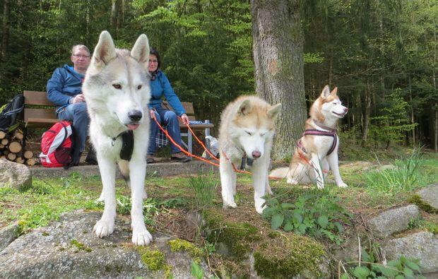 schlittenhunde-kurs-kulz