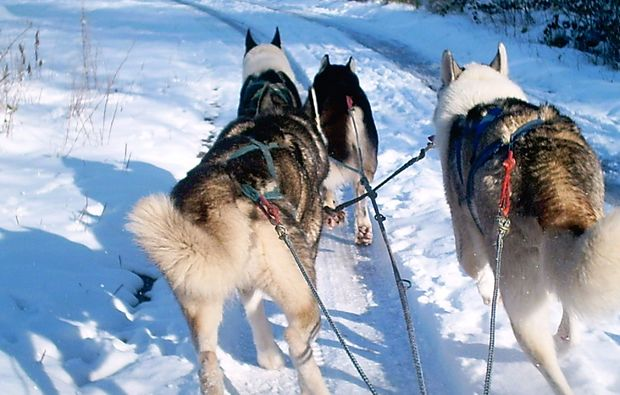 husky-trekking-bad-herrenalb-huskys