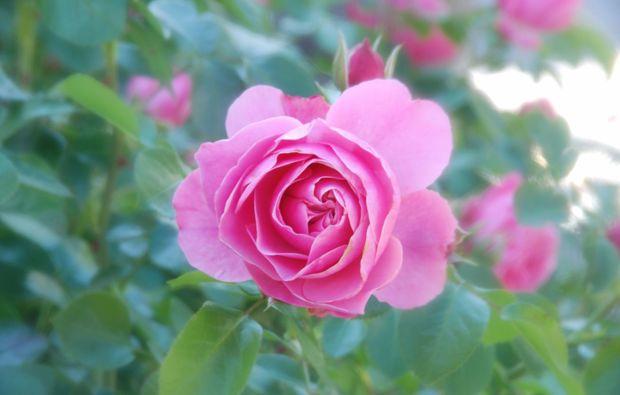 fotokurs-herrsching-rosa-rose
