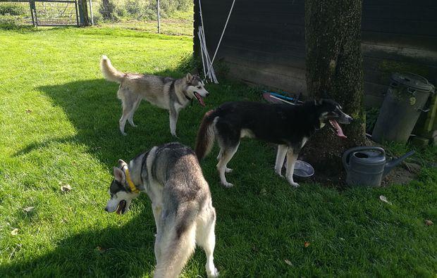 schlittenhundefahrt-goch-fuer-zwei