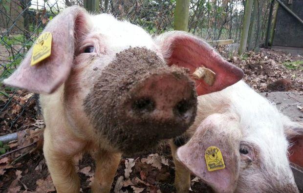 tiere-pflegen-xanten-schweine