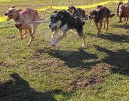 Husky-Race-Workshop Neu Benthen - 4 Stunden