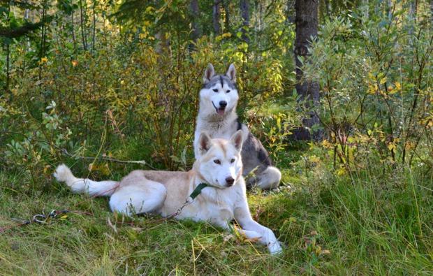 husky-trekking-frankendorf-huskywanderung