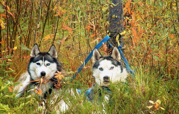 schlittenhunde-trekking-frankendorf