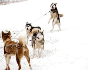 Schlittenhunde-Workshop - Grundkurs - 2 Tage Grundkurs - 2 Tage