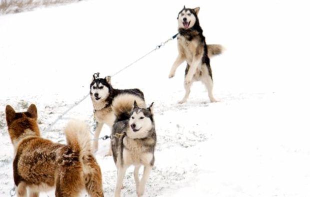schlittenhunde-workshop-familie-neuhof-hauswurz