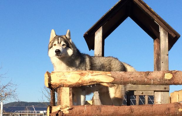schlittenhunde-workshop-dietfurt-husky