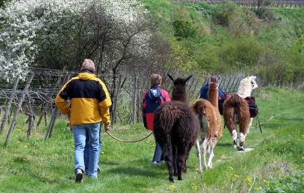lamatrekking-dorn-duerkheim-spazieren