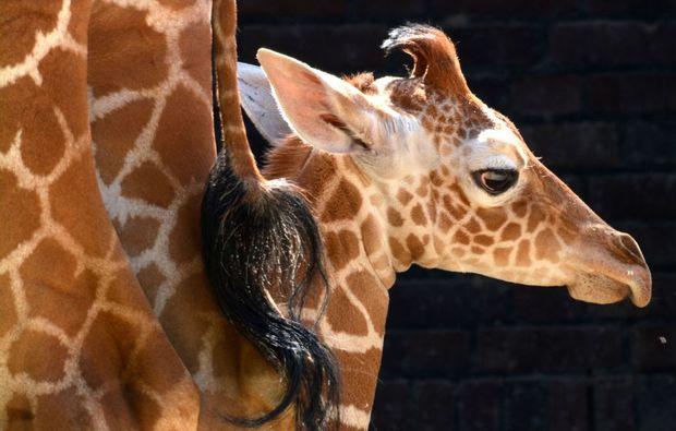 fototour-koeln-giraffen