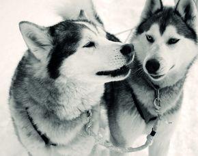 Schlittenhunde Schnupperkurs Langelsheim Ca. 3,5 Stunden