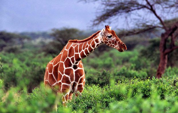 erlebnisreise-bamburi-kenia-giraffe